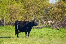 Free Cow In The Willage Royalty Free Stock Photos - 5119098