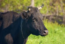 Free Cow In The Willage Stock Photo - 5119100