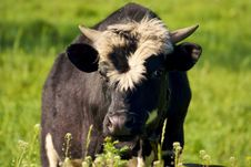 Free Cow In The Willage Royalty Free Stock Photography - 5119307