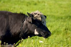 Free Cow In The Willage Stock Image - 5119341