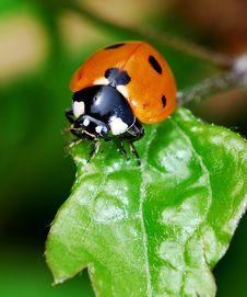 Free Ladybird Royalty Free Stock Photography - 5119647