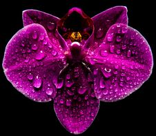 Free Orchid Stock Photos - 51133513
