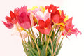 Free Wild Red, Pink And Yellow Tulips Royalty Free Stock Photo - 5122335