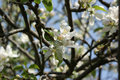 Free Apple Blossom Royalty Free Stock Images - 5123699