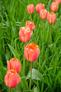 Free Beautiful Red Tulips In The Field Stock Images - 5123704