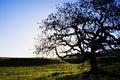 Free Oak Tree Stock Photos - 5127643