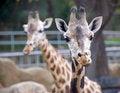 Free Beautiful Giraffe Royalty Free Stock Photo - 5127965