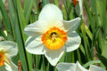 Free Close Up Of A Yellow Daffodil Royalty Free Stock Images - 5128089
