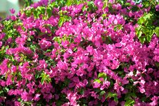 Free Bush With Violet Colors Flowers Stock Photography - 5120102