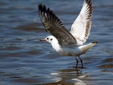 Free River Gull Royalty Free Stock Photo - 5120195