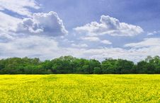 Free Canola Field Stock Photo - 5121230
