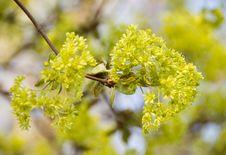 Free Flowering Maple Branch Royalty Free Stock Image - 5121746