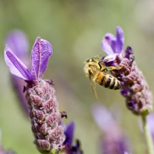 Free Honey Bee And Lavender Stock Photography - 5121772