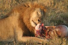 Free Lion With Prey Stock Image - 5121841