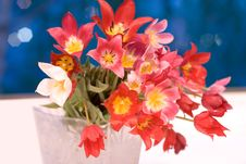 Free Wild Red, Pink And Yellow Tulips Royalty Free Stock Photography - 5122387