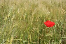 Free 1 Poppy Stock Photo - 5122930