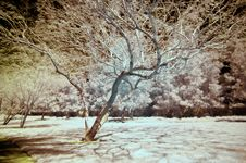 Free Infrared Tree Stock Image - 5123011