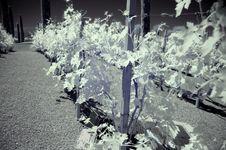 Infrared Vineyard Stock Photo