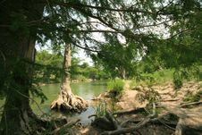 Free Cedar Tree On Guadalupe River Royalty Free Stock Image - 5123156