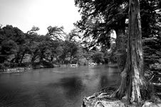 Free Cedar Tree On Guadalupe River Royalty Free Stock Image - 5123166