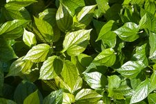 Free Green Leaves Stock Photos - 5123433