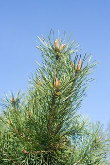 Free Pine-tree Buds  On The Background Of The Blue Sky Stock Image - 5124261