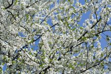 Free Blooming Cherry Tree Stock Photography - 5124452
