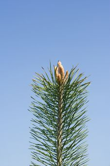 Free Pine-tree Buds  On The Background Of The Blue Sky Stock Photos - 5124493