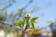 Free Flower Of The Apple-tree Royalty Free Stock Photo - 5124565