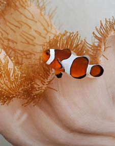 Free Clownfish Amongst Reef Stock Images - 5124634