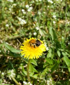 Free Dandelion And Bee Stock Photos - 5124643