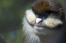 Free Monkey Royalty Free Stock Photography - 5126407