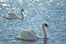 Free Swan Stock Photo - 5126600