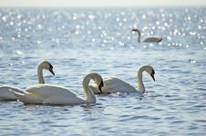 Free Swans. Stock Photo - 5126630