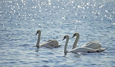 Free Swans. Stock Photo - 5126640