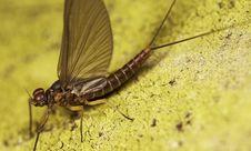 Free Mayfly Close-up Macro Royalty Free Stock Photo - 5127255