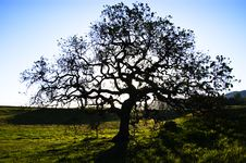 Free Oak Tree Royalty Free Stock Photo - 5127445