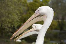Free 2 Pelicans Stock Photos - 5127453
