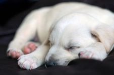 Free Sleeping Labrador Puppy Stock Photo - 5127690