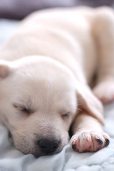 Free Sleeping Labrador Puppy Stock Image - 5127691