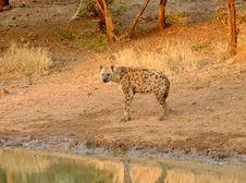 Free Hyena At He Waterhole Royalty Free Stock Photo - 5128645