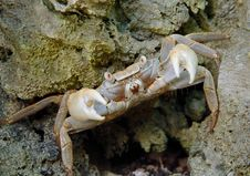 Crab On The Defence Royalty Free Stock Photo