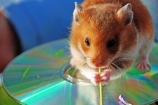 Free Hamster Stock Image - 5129561