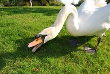 Free Swan While Eating Bread Crumbs Royalty Free Stock Photos - 5129938