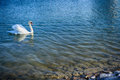 Free Swimming Swan In The Lake Royalty Free Stock Photo - 51236265