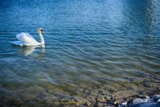 Swimming Swan In The Lake Royalty Free Stock Photo