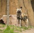 Free Wild African Dog Stock Photo - 5130420
