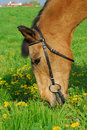 Free Horse Eating Grass Royalty Free Stock Image - 5132846