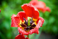 Free Macro Shot Of An Open Tulip With Drops Royalty Free Stock Photos - 5134598