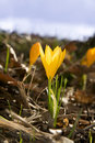 Free Small Yellow Crocus Stock Photos - 5136303